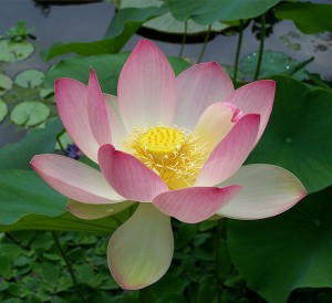 Lotus flower (Get it? Locus? Lotus? Ha!)
